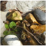 Honeybees drinking from their pond - Photo by P Perry 2012