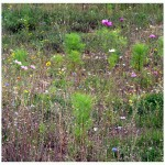 mini meadow - Photo P Perry 2011