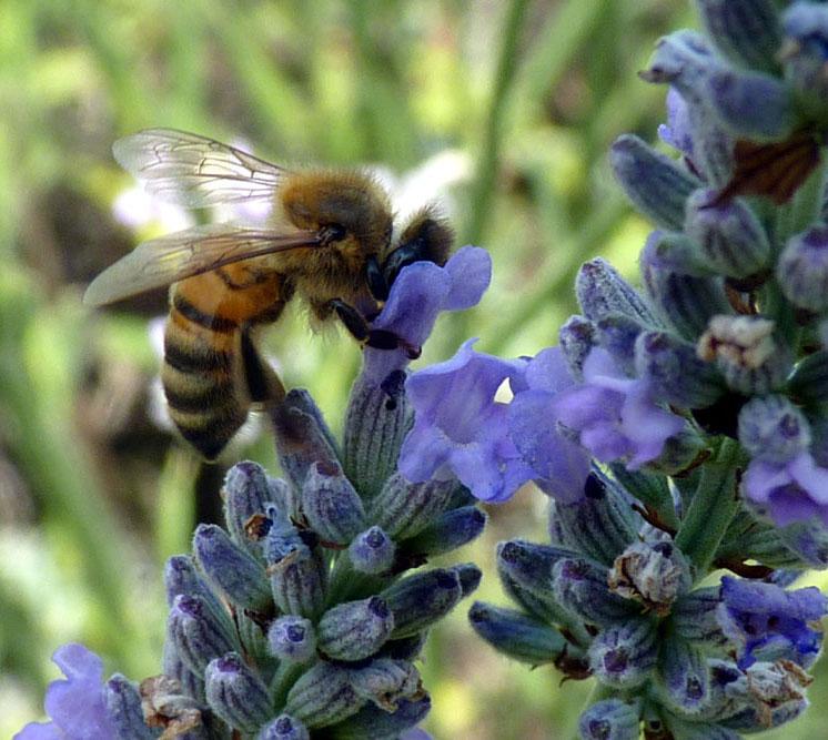 Advice On Swarms 171 Pinner Amp Ruislip Beekeeper S Association