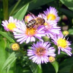Honeybee on asters - Photo P Perry