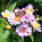 Honeybee on asters - Photo P Perry