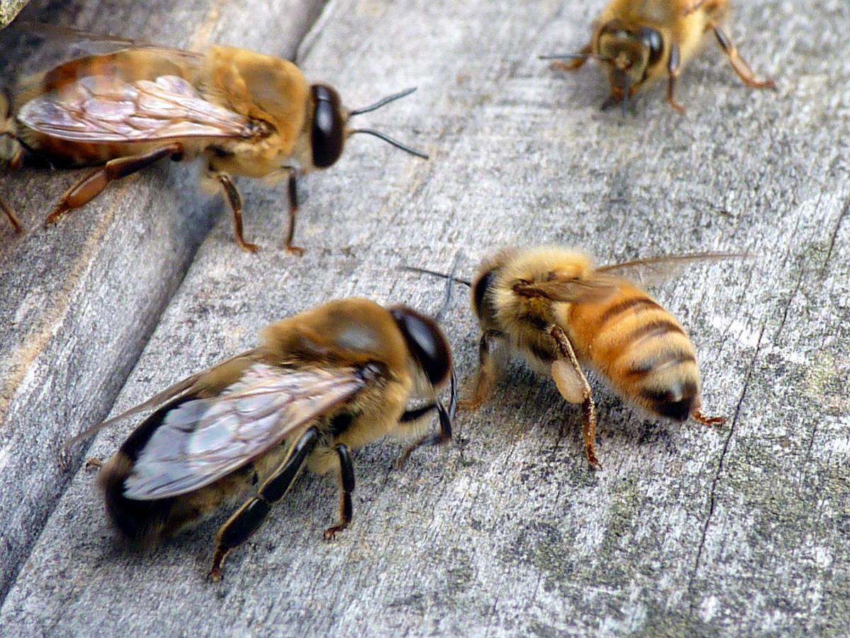 2 Queen And Drones Pinner Ruislip Beekeeper S Association