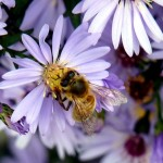 honeybee on aster - Photo P Perry 2011