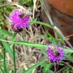 honeybees on thistles - Photo P Perry 2011